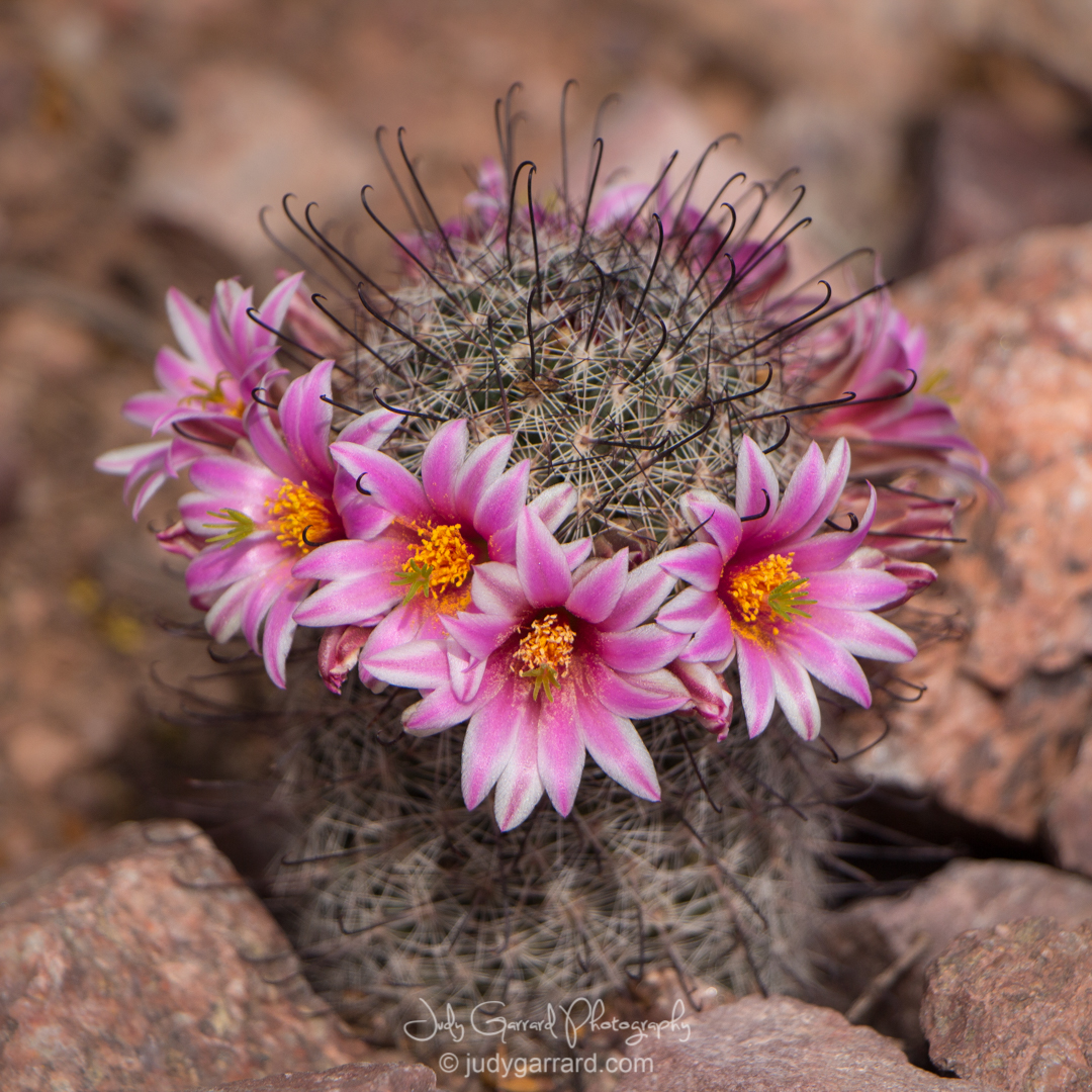 Small cactus with pink flowers