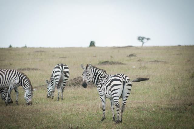 Zebras! Masai Mara, Kenya