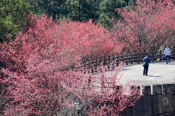 苗栗獅潭協雲宮櫻花開滿山谷,步道賞櫻花、粉紅梅花好去處