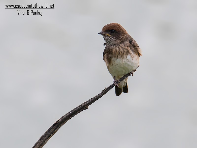 Streak-throated Swallow - Juvenile