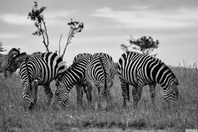 Zebras in B&W