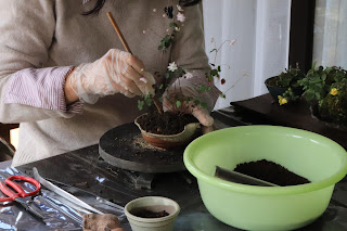 山野草を盆栽用の土で植え付けているところ