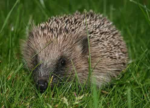 Hedgehog as pets