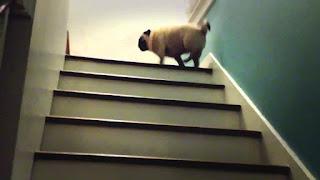 cães subindo escadas