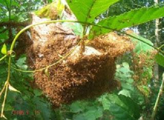 cara budidaya semut kroto rumahan,cara budidaya semut kroto di rumah,budidaya semut kroto tanpa ratu,cara budidaya semut kroto tanpa pohon,cara budidaya semut kroto media toples,