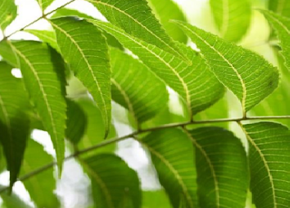 Benefits of Neem for hair, skin and health How to use neem Helps to treat Asthma