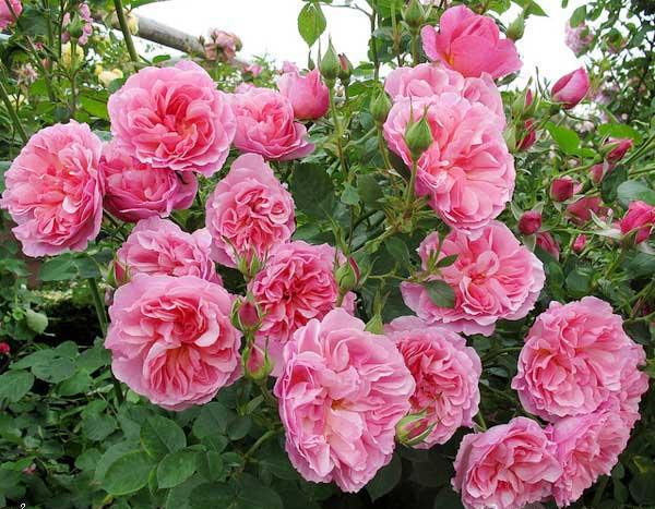 hoa hồng leo cẩm loan