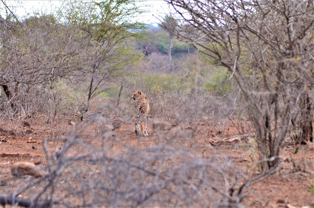 Leopard Walking in @SANParksKNP @SANParks #SA #PhotoYatra #TheLifesWayCaptures