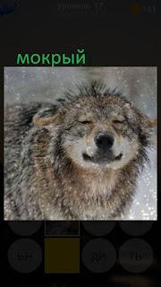389 фото стоит мокрый волк под дождем 17 уровень