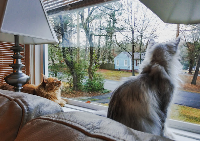 Picture of two Maine Coons looking through the window at America