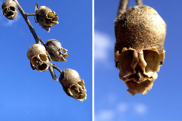 Snap Dragon Seed Pod (Antirrhinum)
