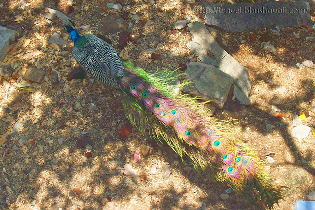 Peacocks in the wild