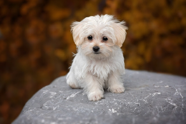 How to Care for a Maltese Puppy - RictasBlog
