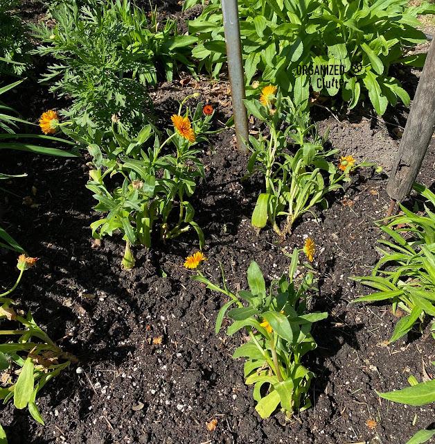 Photo of newly planted calendulas.