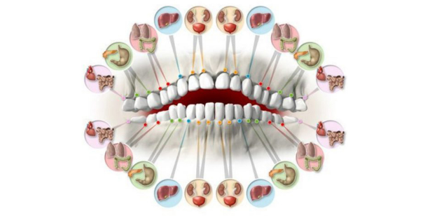 Each Tooth Is Connected To An Organ