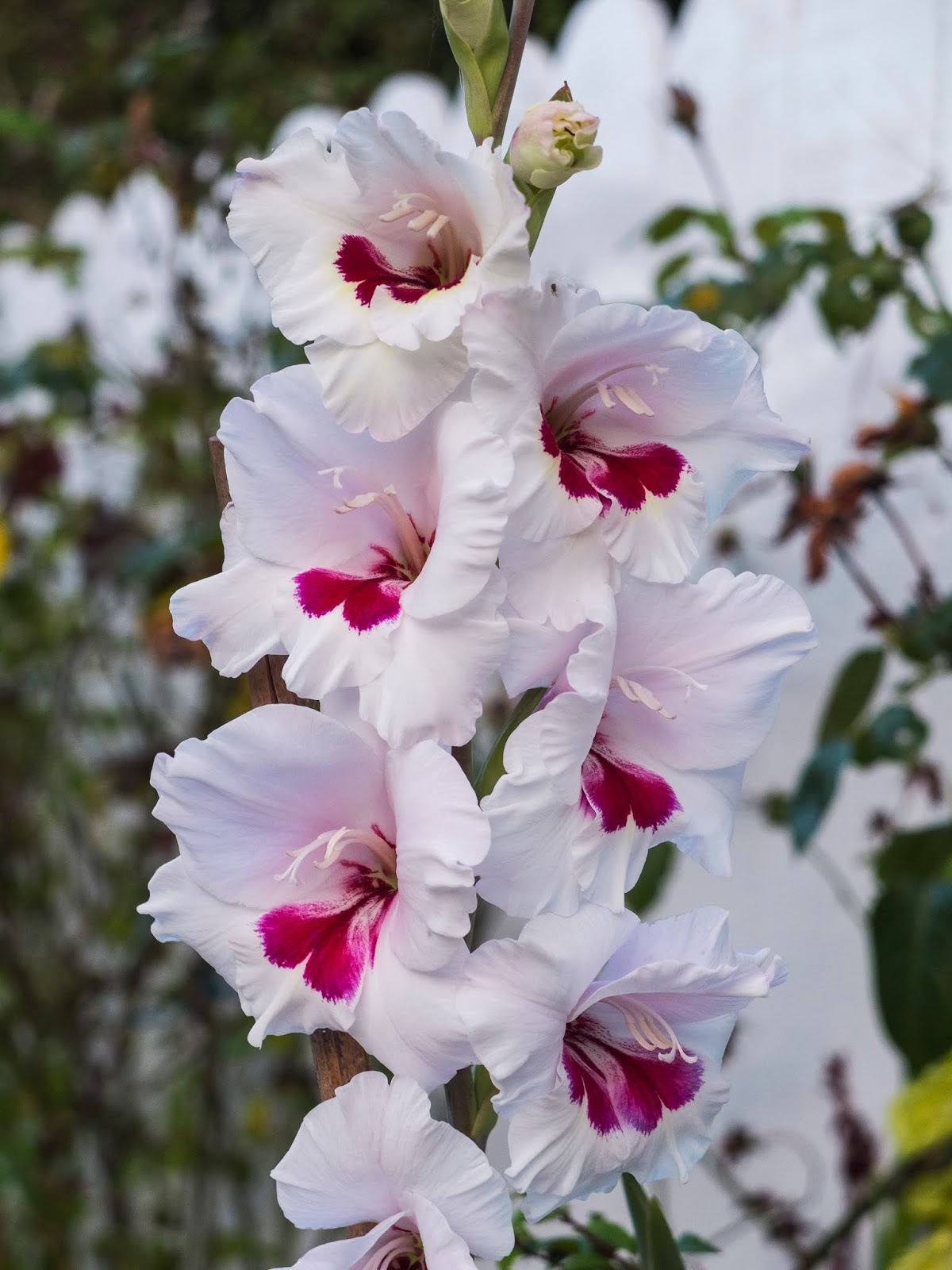 A close up of a white Gladiolus flowers with red centres.