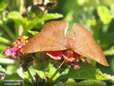 Mariposa acróbata rojiza (Emesis russula)