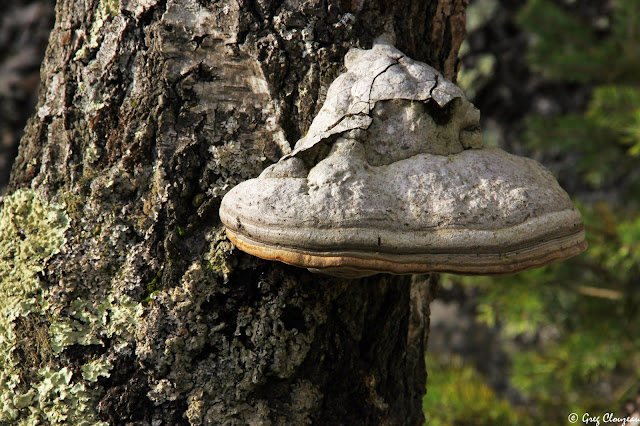 Amadouvier sur tronc de bouleau, Rocher Canon, Fontainebleau