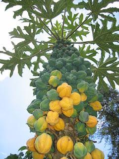 Tanaman carica ialah salah satu jenis tanaman kerabat bersahabat dari tanaman pepaya Manfaat dan Khasiat Tanaman Carica (Carica Pubescens)