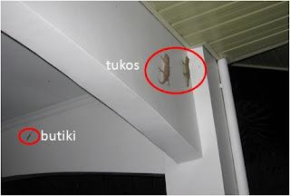 Philippine butiki and tuko lizards