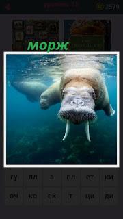 под водой плывет огромный морж с большими клыками