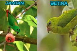 Cara Akurat Membedakan Burung Serindit Jantan dan Betina