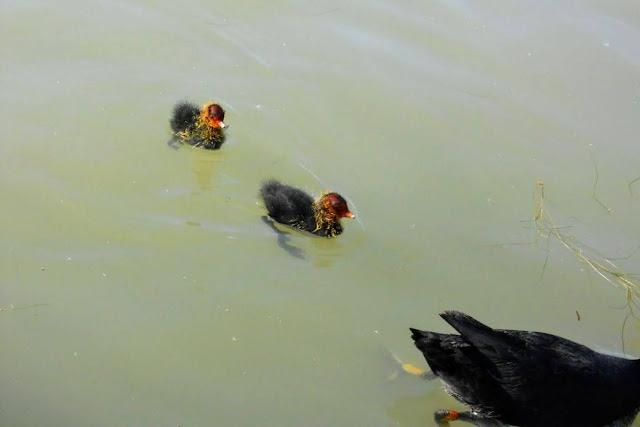 2 days in Munich in Spring: moorhen chicks in the Englischer Garten