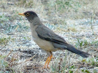 nido de Zorzal patagónico Turdus falcklandi