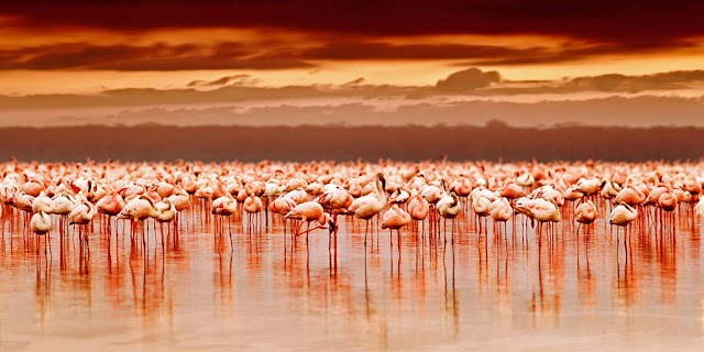 Millions of flamingos wade in the middle of the petrified lake