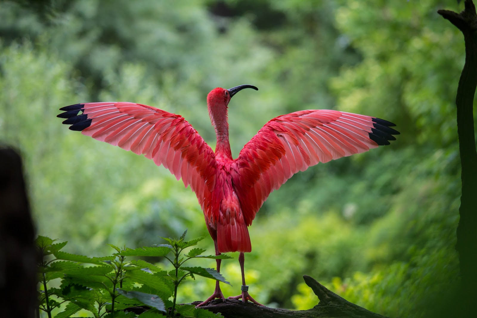 flamingo-spreading-its-wings-birds-images