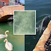 Fish, Ducks, Dolphins, and Swans Returns As Waters In Venice Becomes Clear And No Disturbance