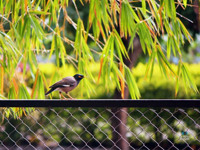 myna-birdding-bird-photography