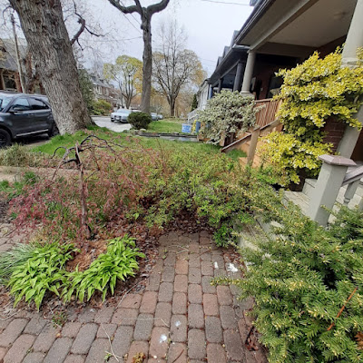 Toronto Riverdale Front Garden Spring Cleanup Before by Paul Jung Gardening Services--a Toronto Organic Gardener