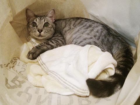 タオルケットを抱きしめているサバトラ猫