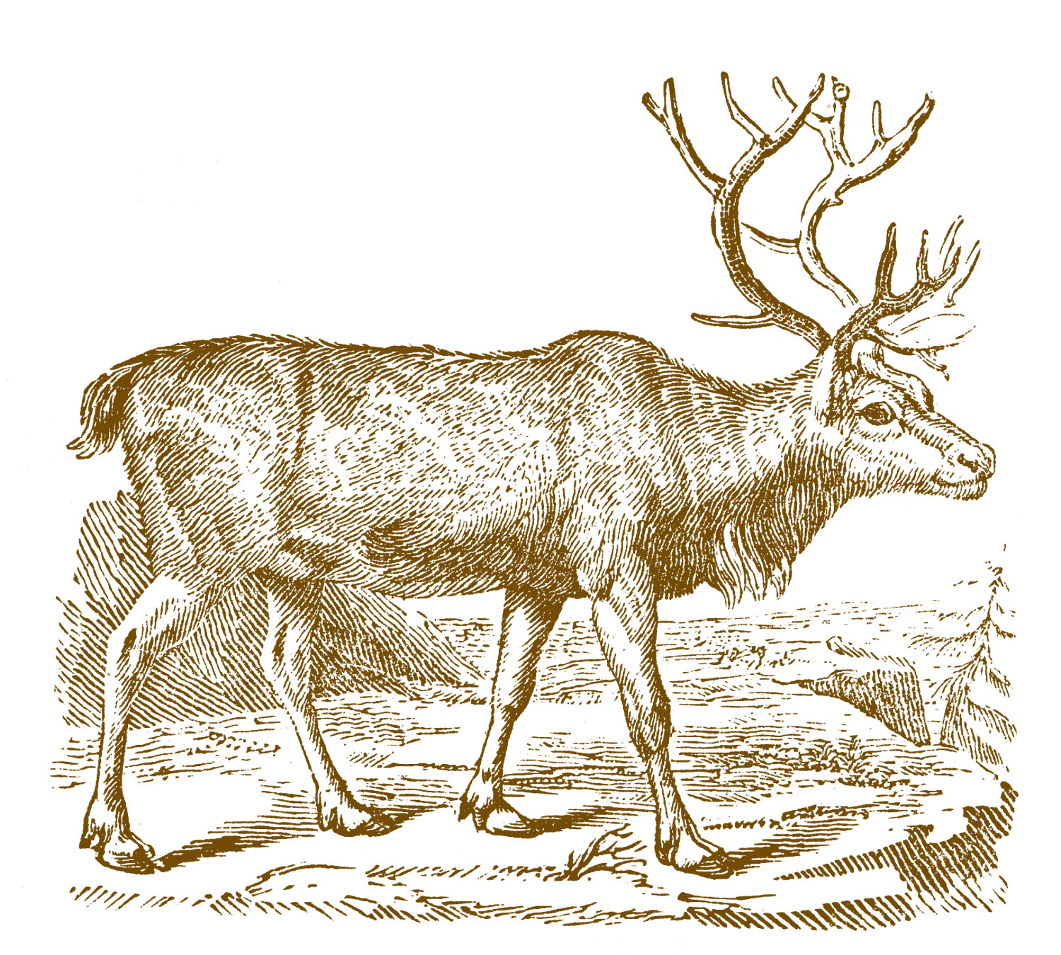 Christmas Images – Reindeer from an early Natural History Book for Handmade Christmas Cards or Craft Projects.