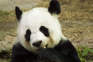 Giant Panda Bear, china tour, china tour packages