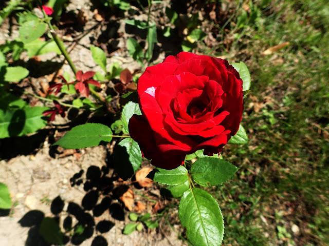 Nie mogło zabraknąć oczywiście czerwonych róż