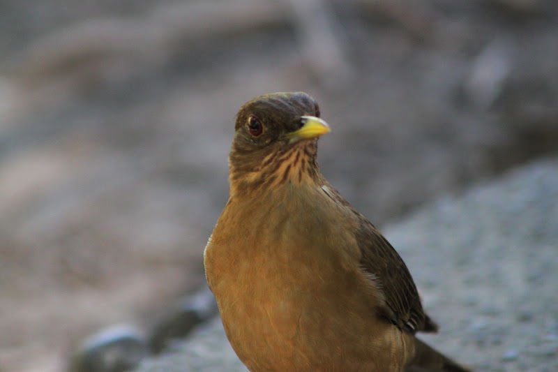 Aves de El Salvador El canto nuestro de cada da  El