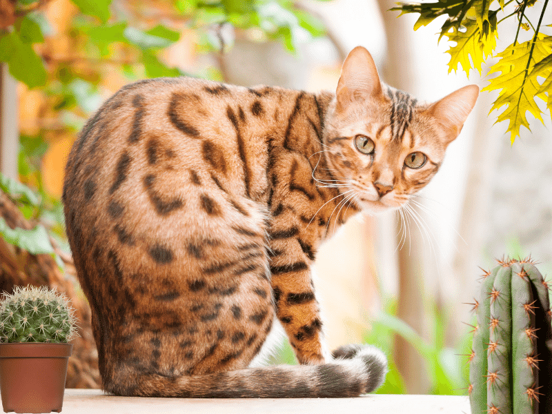 El pedigree del gato bengalí