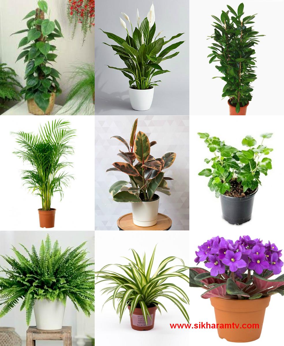 Feng Shui Friendly House Plants - SIKHARAMTV