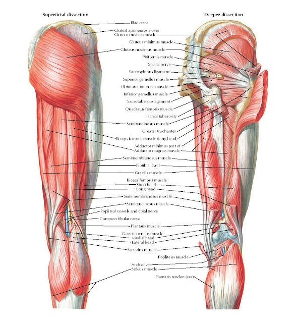 Muscles of Hip and Thigh: Posterior Views Anatomy