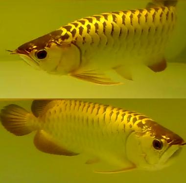 All About Aquarium Fish What Makes Golden Crossback Arowana