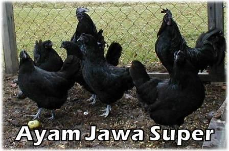 Pemilihan Bibit Ayam Jawa Super | Ternak Ayam