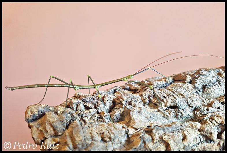 Ninfa macho L5 de Lonchodiodes sp. Ilocos, 7,5 cm de longitud