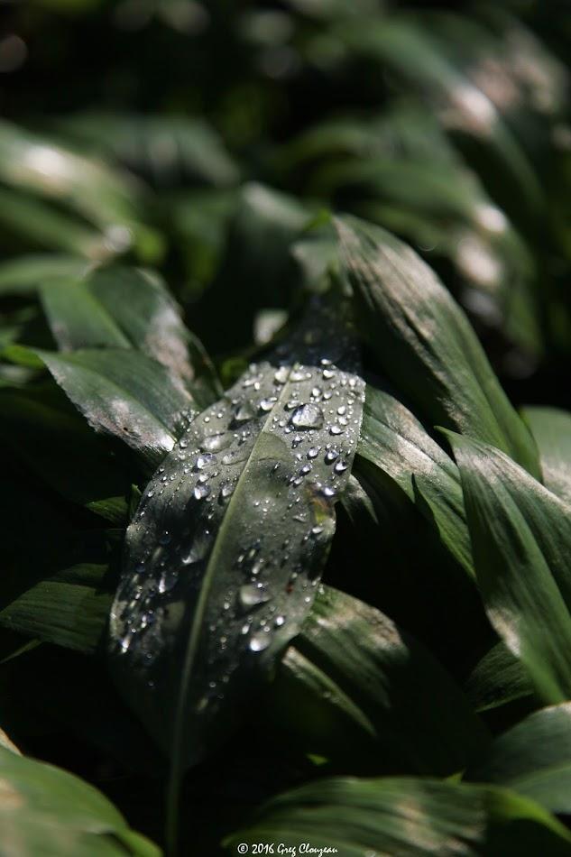 Ail des ours (allium ursinum) Pays de Fontainebleau