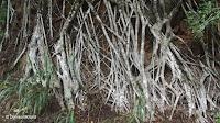 Tree root network - Waimea Valley, Oahu, HI