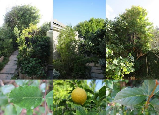 Exotic inherited trees - carob from two sides, fiddlewood carob leaf, lemon, fiddlewood leaf