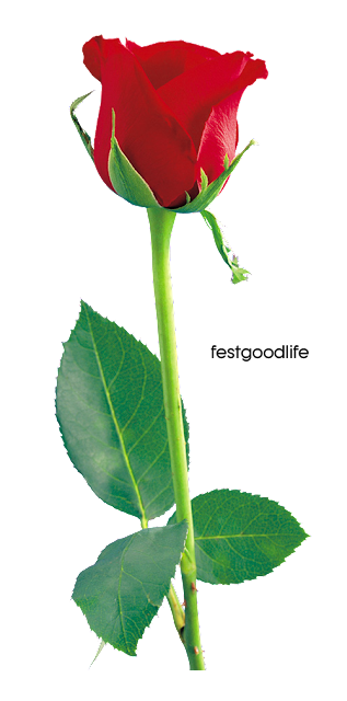 red rose wallpaper free download for mobile