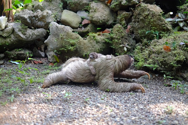 Reproduction of  Sloth