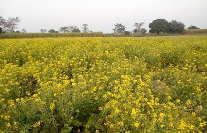 भदौरा: कड़ाके की ठंड व कोहरे ने बढ़ाई किसानों की चिता, फसलों पर मंडरा रहा संकट